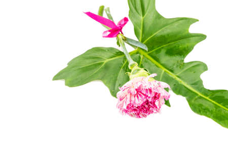 ribbin: Beautiful pink flower with fresh green leaf tied  by pink ribbin  on white background