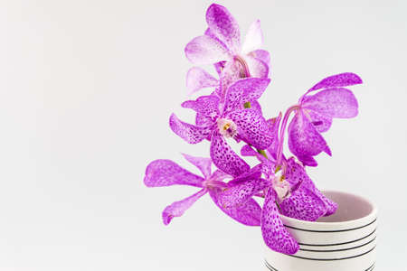Pink mokara orchids in vase isolated on white background photo