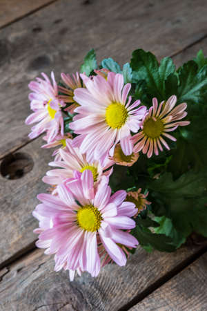 rustic  wood: Pink chrysanthemums on rustic wood background Stock Photo