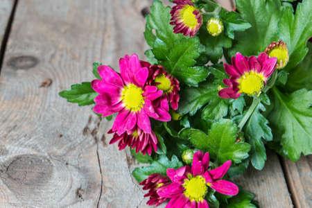 rustic  wood: Pink chrysanthemums on rustic wood