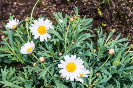 Margaret flower on soil photo