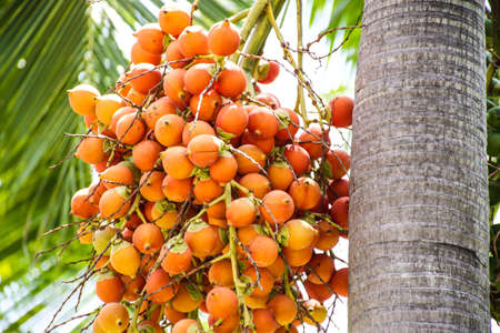 Seed of oil palm Stok Fotoğraf