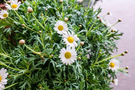 Margaret flower photo