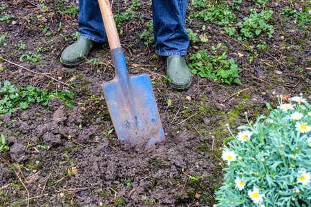 hand use shovel for planting margaret flower photo