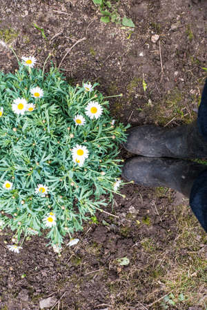 Margaret flower and boots on soil photo