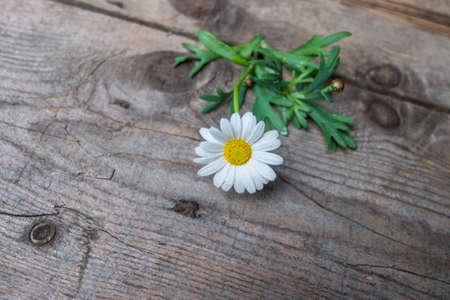 Margaret flower on rustic wood background photo