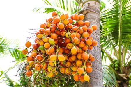 Seed of oil palm Standard-Bild