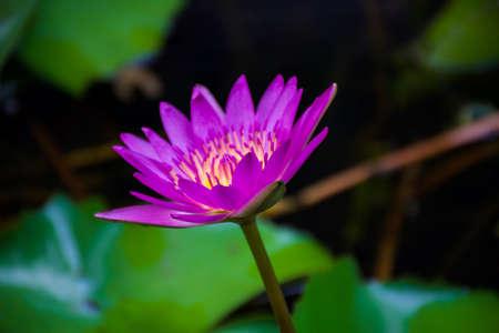 waterlily: purple lotus,purple waterlily