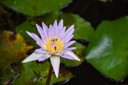 beautiful pink waterlily or lotus flower in pond photo