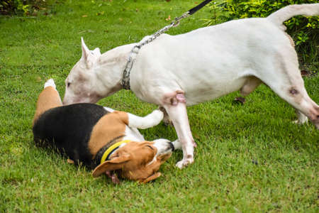 beagle terrier: The Beagle and Bull Terrier in the spring garden