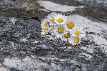 white daisies: white daisies  on stone