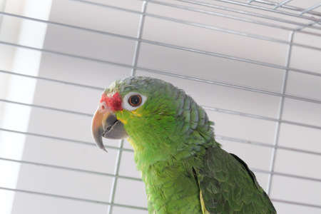 green parrot: Green Parrot in cage Stock Photo