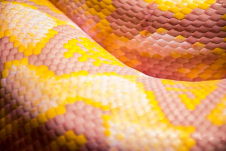 burmese: Blurred Albino Burmese python skin as background.