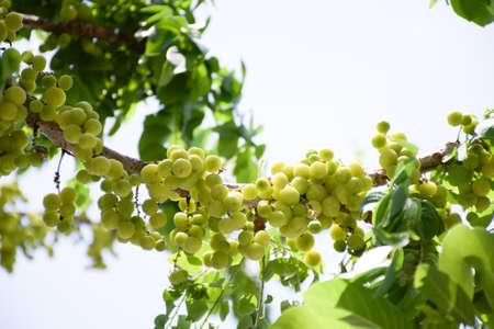 gooseberry: grosella espinosa estrellas. Foto de archivo