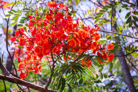 flamboyant: Flam-boyant, The Flame Tree, Royal Poinciana. Stock Photo