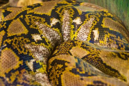 reticulated: Reticulated python-  Python reticulatus