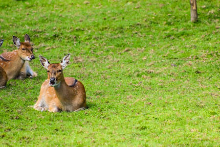 sika deer (Cervus nippon).