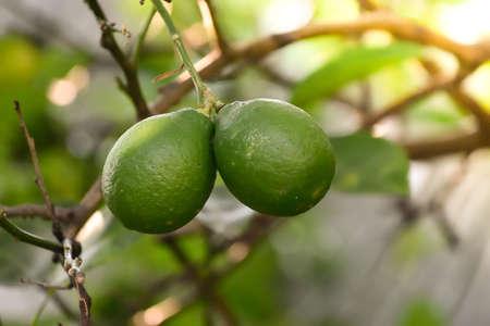 Lime on the tree. Standard-Bild