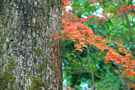 Autumn red maple fell on the roots of a large tree covered with green moss.