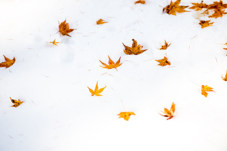 Select Focus maple leaf on a snow in early winter ( palmatum)