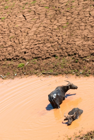 wallowing: Buffalo Relax wallowing in a pool of muddy water Stock Photo
