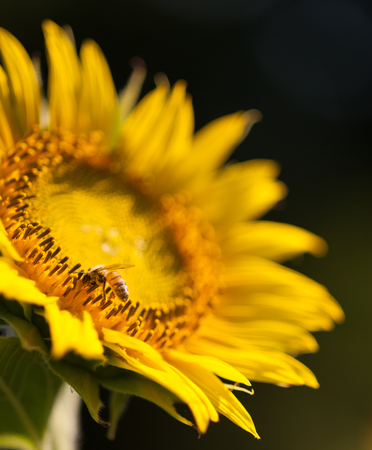 pollinate: Bees pollinate the flowers of a large sunflower Stock Photo