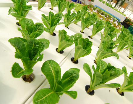 chinese spinach: Hydroponic organic vegetable plots cultivation farm.