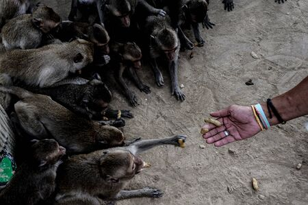 monkey nuts: monkeys group taking food from humans hand