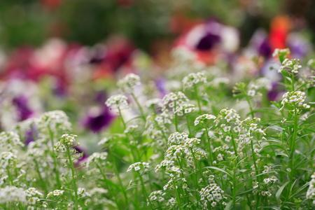 exposición: La flor en la flora real ratchaphruek Internacional de Horticultura Exposición de Su Majestad el Rey en Chiang Mai, Tailandia Foto de archivo