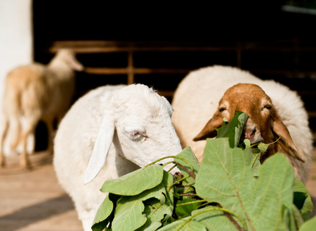Sheep eating grass in the farm Stock Photo
