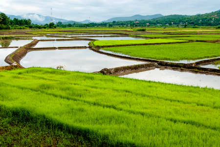 recommended: rice field Autumn in Thailand