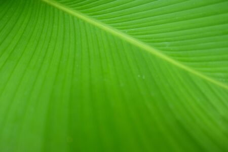 Closeup Green banana leaf texture, Abstract Banana leaf background