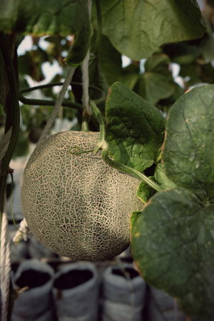 young sprout of Japanese melons or green melons or cantaloupe melons plants growing in greenhouse farm supported by string melon nets.