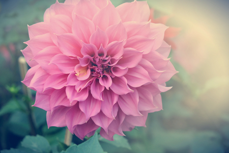 Beautiful pink dahlia fresh flower blossoming in the garden