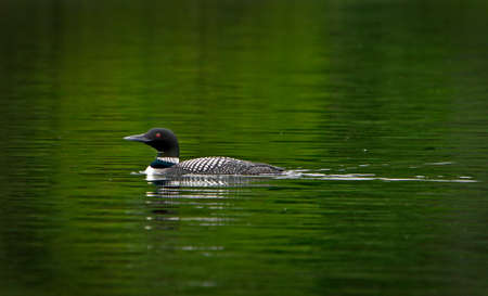 loon swimming in a beautiful green lake in Quebec canada
