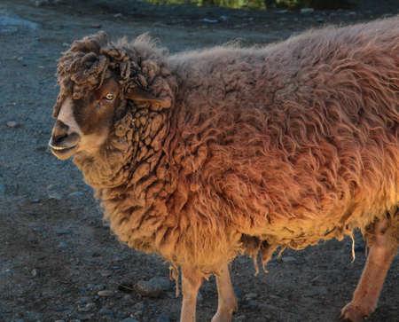 sheep with red hair and creepy eye