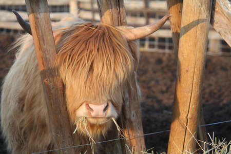 The Cow Who Needs a Haircut Stock Photo - 6721170