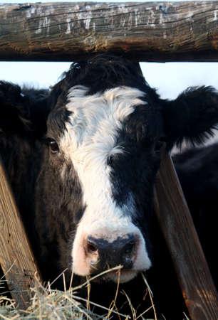 Cow Stock Photo - 6721114