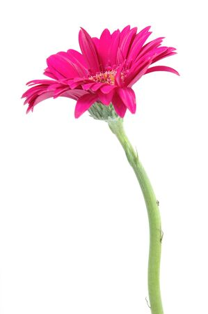 Pink gerber daisy in isolated white Stock Photo - 592346