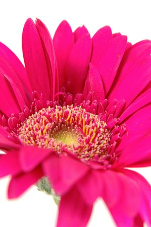 Close up of pink gerber daisy in isolated white photo