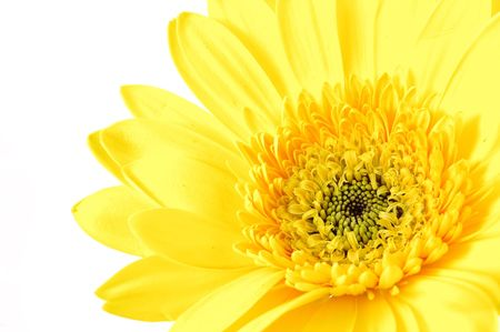 Close up of yellow gerber daisy in isolated white Stock Photo - 592348