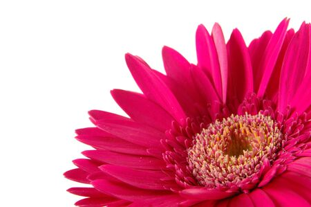 Close up of pink gerber daisy in isolated white Stock Photo - 592349