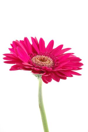 Pink gerber daisy in isolated white Stock Photo - 592350
