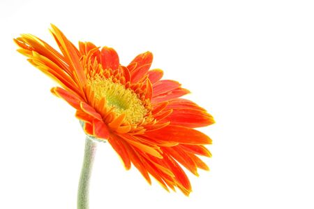 Orange gerber daisy in isolated white Stock Photo - 592351
