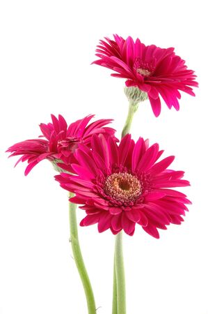 Three pink gerber daisies in isolated white photo