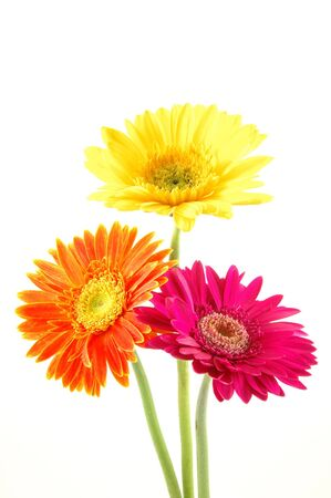 Three colorful gerber daisies in isolated white Stock Photo - 592354
