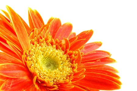 Close up of orange gerber daisy in isolated white Stock Photo - 592356