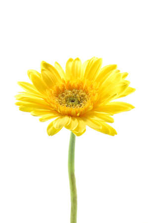 Yellow gerber daisy in isolated white photo