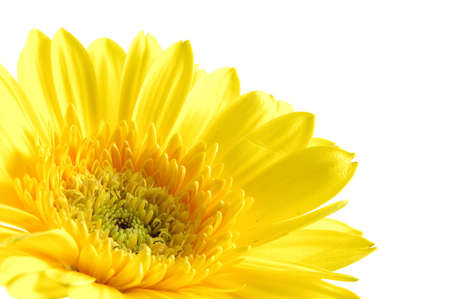 Close up of yellow gerber daisy in isolated white Stock Photo - 592358
