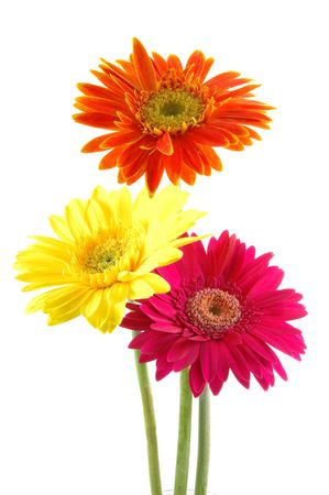 Three colorful gerber daisies in isolated white